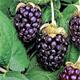 Ежемалина – гибрид малины и ежевики